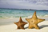 Starfish on Tropical Caribbean Beach Fotografie-Druck von Mehmed Zelkovic