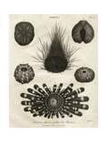 Echinus, or Sea Urchin Lámina giclée por J Chapman