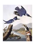 Belted Kingfishe Giclée-tryk af John James Audubon