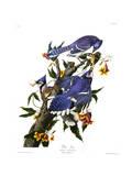 Blauwe gaaien op tak Gicléedruk van John James Audubon