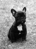 Fall, French Bulldog, Pup Impressão fotográfica por Thomas Fall