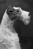 Fall, Wire Fox Terrier, 54 Impressão fotográfica por Thomas Fall