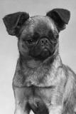 Dog's Mischievous Face Impressão fotográfica por Thomas Fall