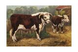 Hereford Bull and Cow 1912 Lámina giclée
