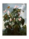 The Oblique-Leaved Begonia Reproduction procédé giclée