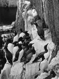 Guillemots and Kittiwakes Reproduction photographique par C.P. Rose