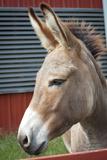 Donkey Profile Animal Photo Poster Kunstdruck