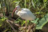 USA, Florida, Orlando, White Ibis, Gatorland Reproduction photographique par Lisa S. Engelbrecht