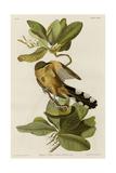 Mangrove Cuckoo Reproduction procédé giclée