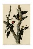 Ivory Billed Woodpecker Reproduction procédé giclée