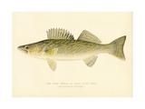 Pike Perch Lámina giclée