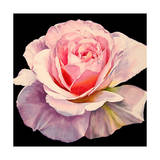 Rose - Romantica Giclee Print by Laurin McCracken