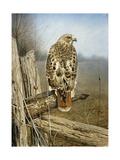 Red Tailed Hawk Reproduction procédé giclée par Rusty Frentner