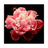 Peony - Explosion Giclee Print by Laurin McCracken