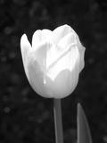 Single Open Tulip Fotografie-Druck von Jeff Pica