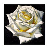 White Rose- Yellow Center Giclee Print by Laurin McCracken