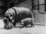 Adult and Baby Hippopotamus Fotografisk tryk