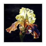 Bearded Iris Giclee Print by Laurin McCracken