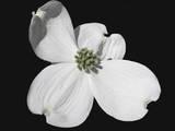 White Dogwood Bloom Reproduction photographique par Karen Williams