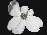 White Dogwood Bloom Fotografisk tryk af Karen Williams