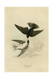 White Bellied Swallow Reproduction procédé giclée