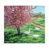 Cherry Blossom Time Reproduction procédé giclée par Kevin Dodds