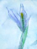 Flores Azules Reproduction photographique par Moises Levy