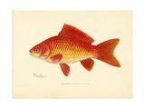 Peces dorados Lámina giclée