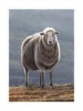 Herdwick Sheep Giclee Print by Jeremy Paul
