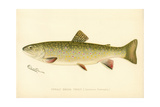 Female Brook Trout Giclée-Druck