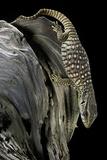 Varanus Exanthematicus (Savannah Monitor) Lámina fotográfica por Paul Starosta