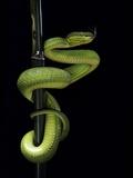 Trimeresurus Albolabris (White-Lipped Tree Viper) Fotografisk tryk af Paul Starosta