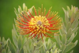 Orange Pin Cushion Protea, Upcountry Maui, Hawaii Reproduction photographique par Ron Dahlquist