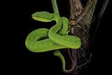 Trimeresurus Albolabris (White-Lipped Tree Viper) Impressão fotográfica por Paul Starosta