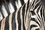 Zebra Eye, South Africa Reproduction photographique par Richard Du Toit