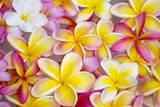 Colorful Plumeria Blossoms, Maui, Hawaii Fotografie-Druck von Ron Dahlquist