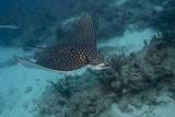 Spotted Eagle Ray (Aetobatus Narinari). Premium-Fotodruck von Stephen Frink