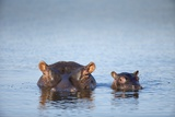 Hippo Cow and Calf, South Africa Photographic Print by Richard Du Toit