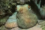Caribbean Reef Octopus Fotoprint van Hal Beral