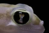 Palmatogecko Rangei (Namib Sand Gecko) - Eye Photographic Print by Paul Starosta