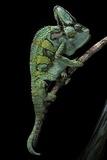 Chamaeleo Calyptratus (Veiled Chameleon) Fotografisk tryk af Paul Starosta