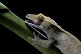 Rhacodactylus Ciliatus (Eyelash Gecko) - Cleaning its Eye Fotografisk tryk af Paul Starosta