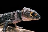 Tribolonotus Gracilis (Bush Crocodile, Red-Eyed Crocodile Skink, Orangeaugen-Helmskink) Fotografie-Druck von Paul Starosta