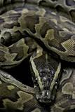 Python Sebae (African Rock Python) Fotografisk tryk af Paul Starosta