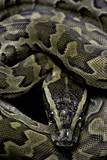 Python Sebae (African Rock Python) Photographic Print by Paul Starosta