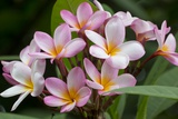 Cluster of Pink Plumeria Blossoms. Fotografie-Druck von Ron Dahlquist