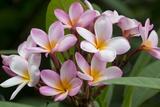 Cluster of Pink Plumeria Blossoms. Stampa fotografica di Ron Dahlquist
