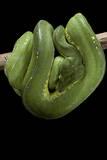 Morelia Viridis (Green Tree Python) Photographic Print by Paul Starosta