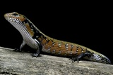 Lepidothyris (Riopa) Fernandi (True Fire Skink) Lámina fotográfica por Paul Starosta
