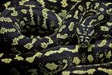 Morelia Spilota Cheynei (Jungle Carpet Python) Fotografisk tryk af Paul Starosta